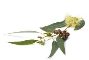 eucalyptus- 2