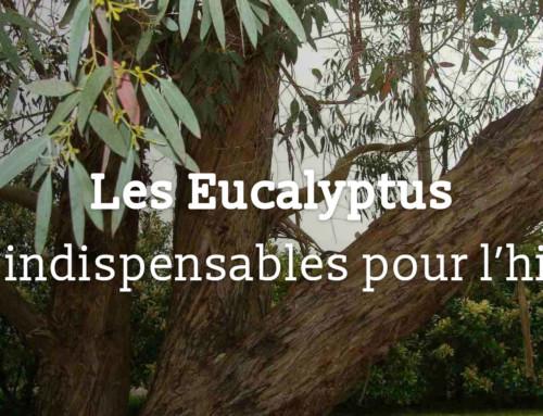 Les Eucalyptus, les indispensables pour l'hiver !