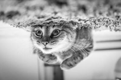les chats et les huiles essentielles